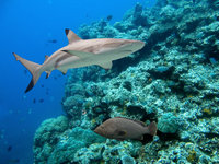 requin indonesie